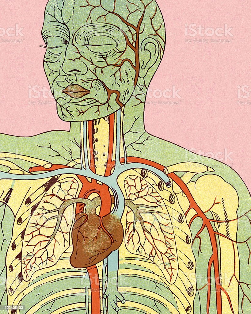 Anatomy Of Circulatory System Stock Vector Art More Images Of