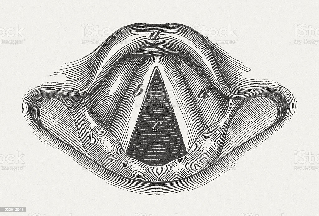 Anatomy Of Human Larynx Wood Engraving Published In 1875 Stock
