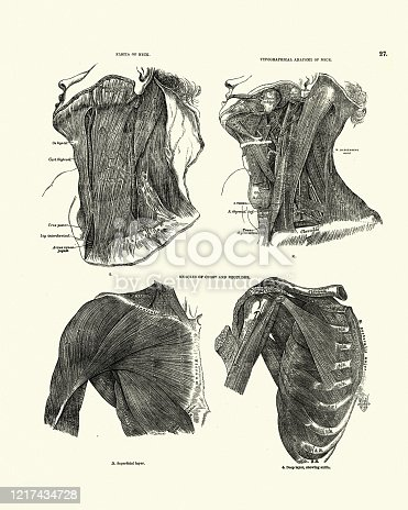 istock Anatomy of neck, fascia, Muscles chest  shoulder, Victorian anatomical drawing 1217434728