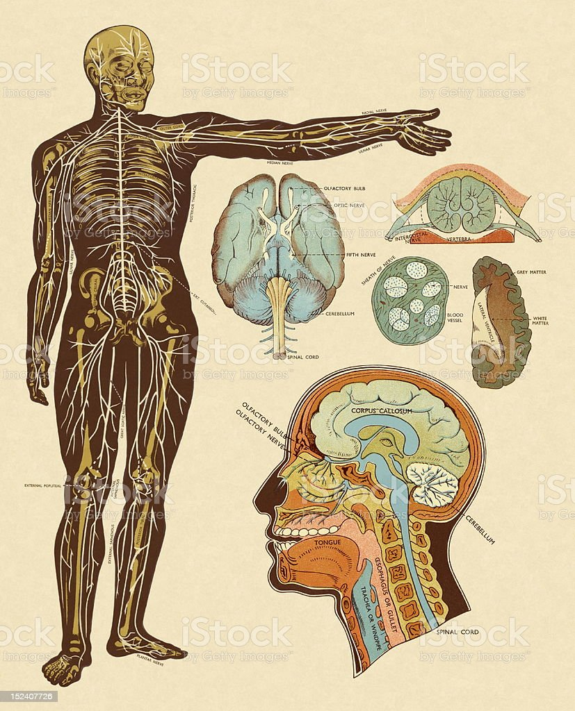 Anatomy of Nerves of Body and Head royalty-free stock vector art
