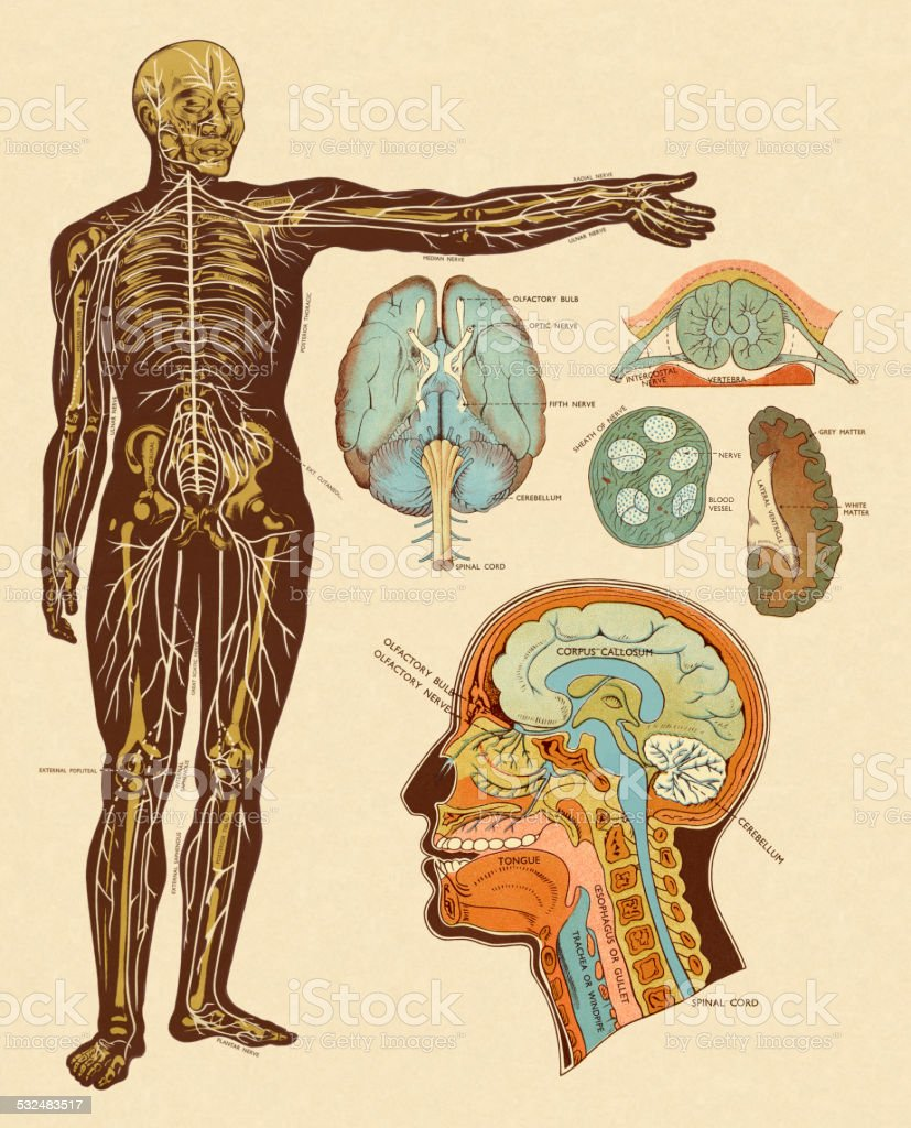 Anatomy Of Nerves Of Body And Head Stock Vector Art More Images Of