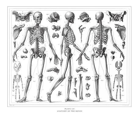 Anatomy of the Bones Engraving Antique Illustration, Published 1851