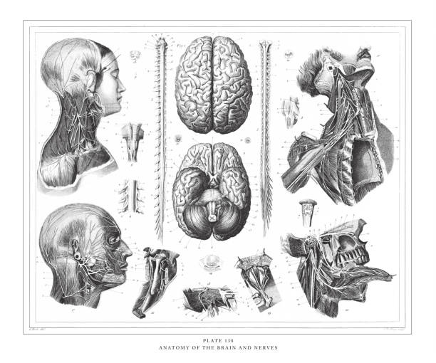 Anatomy of the Brain and Nerves Engraving Antique Illustration, Published 1851 Anatomy of the Brain and Nerves Engraving Antique Illustration, Published 1851. Source: Original edition from my own archives. Copyright has expired on this artwork. Digitally restored. sciatic nerve stock illustrations