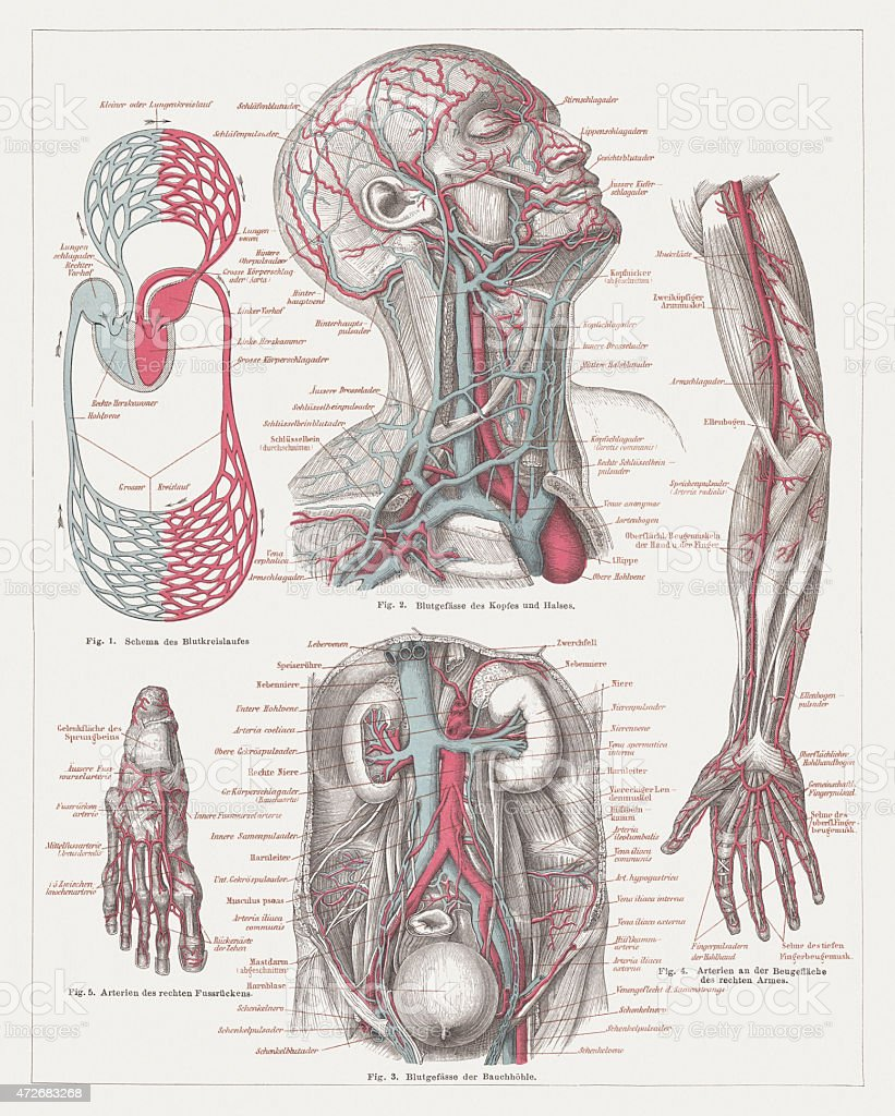 Anatomy of the human bloodstream, lithograph, published in 1874 vector art illustration