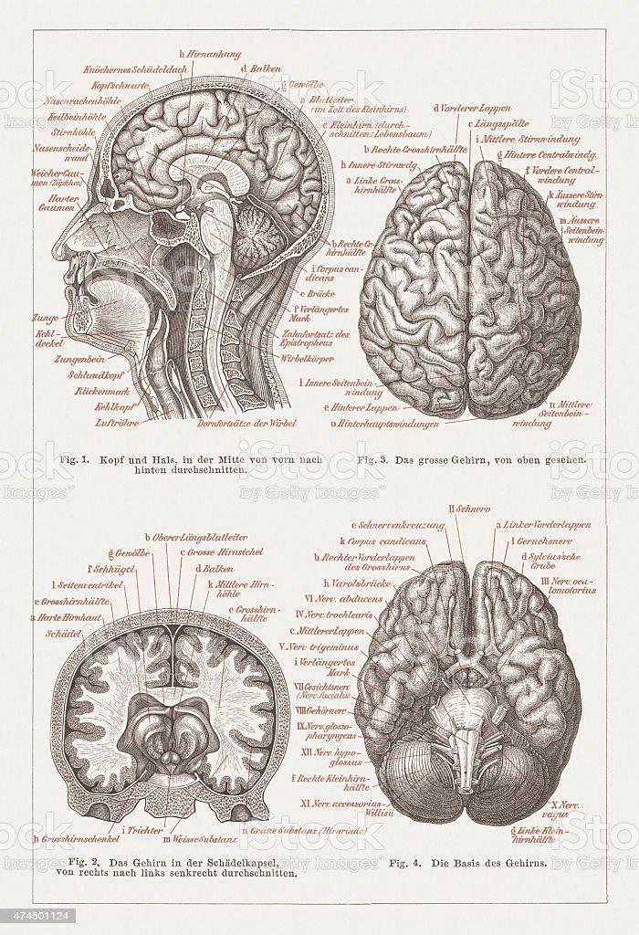 Ilustración de Anatomía Del Cerebro Humano Publicado En 1876 y más ...