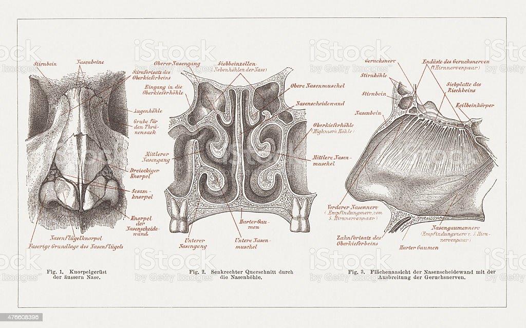 Anatomie Du Nez Humain Publié En 1877 – Cliparts vectoriels et plus ...