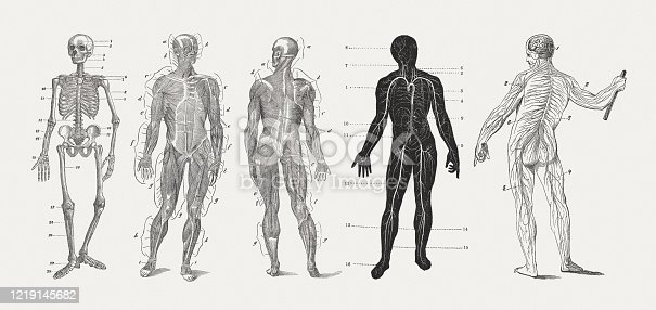 Anatomy of the man, wood engravings, published in 1893