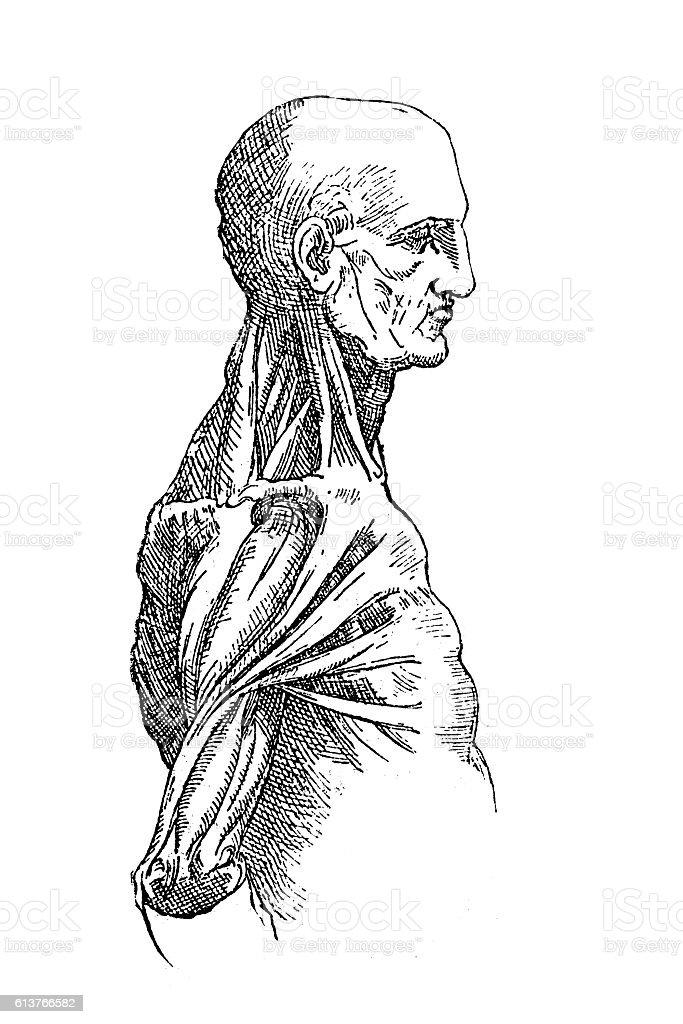Anatomy Sketch Stock Vektor Art und mehr Bilder von Altertümlich ...