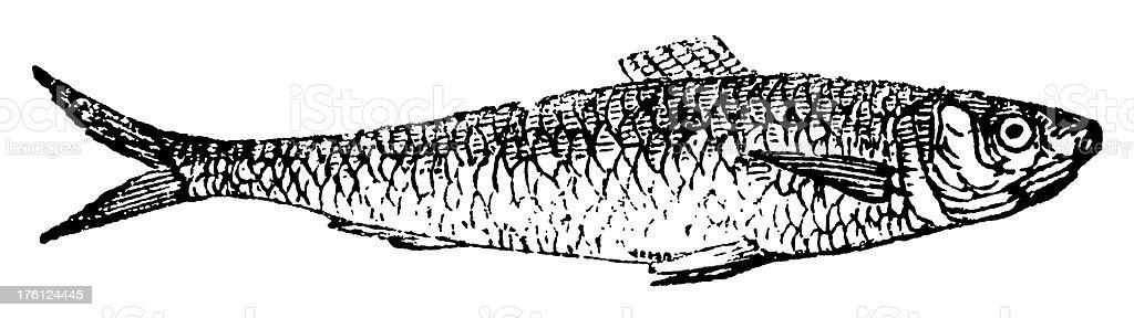 Anchoa/antigüedades de ilustraciones de animales - ilustración de arte vectorial