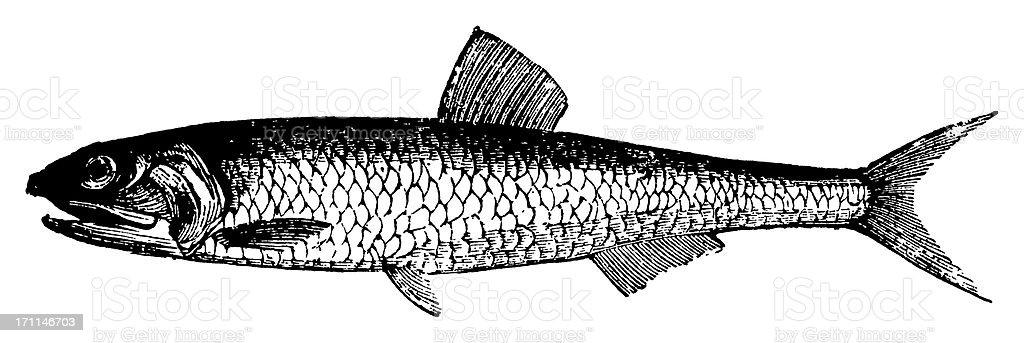 Anchoa pescado/antigüedades de ilustraciones de animales - ilustración de arte vectorial