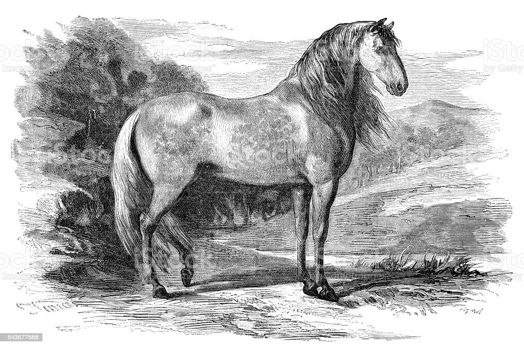 Andalusian Pure Spanish Horse engraving 1880 vector art illustration