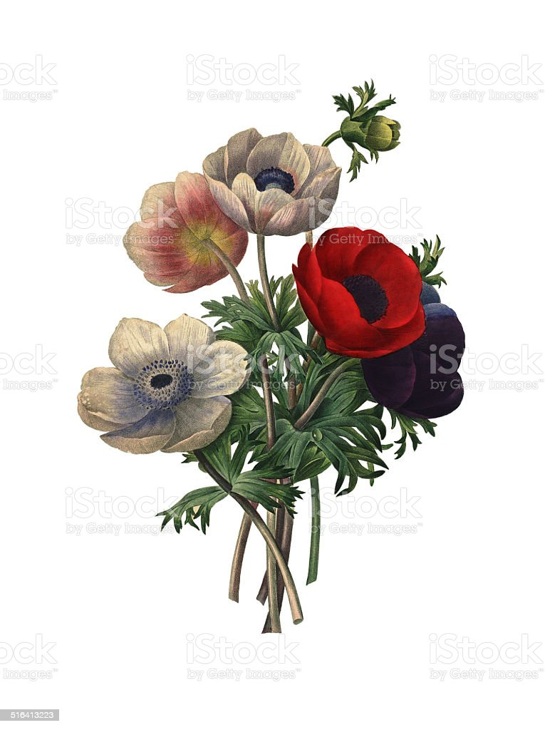 Anemone simplex | Redoute Flower Illustrations royalty-free anemone simplex redoute flower illustrations stock illustration - download image now