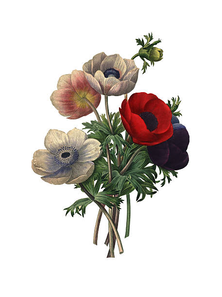 Anemone simplex | Redoute Flower Illustrations vector art illustration