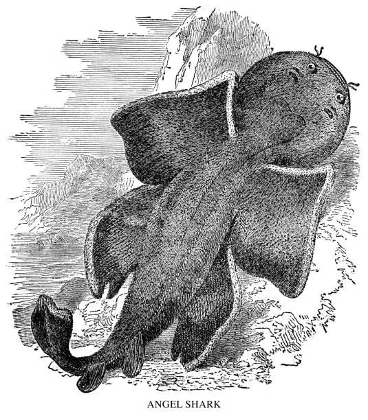 Angel Shark Angel Shark - Scanned 1897 Engraving angel shark stock illustrations