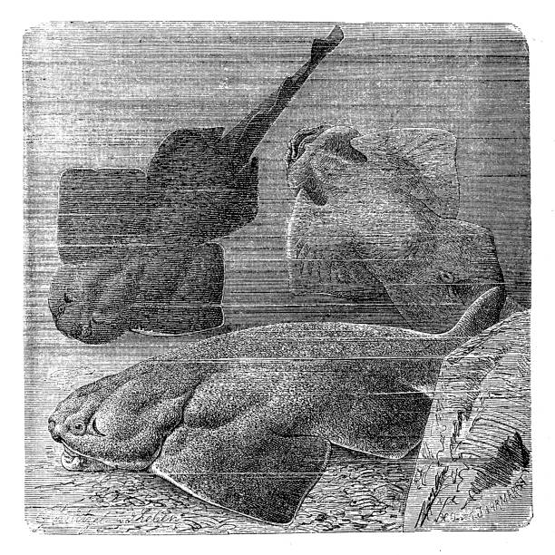 Angel shark Illustration of a Angel shark angel shark stock illustrations