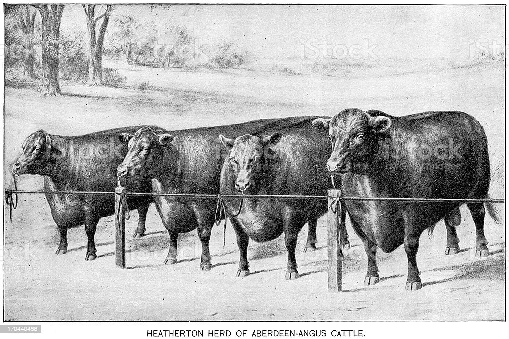 angus cattle engraving vector art illustration