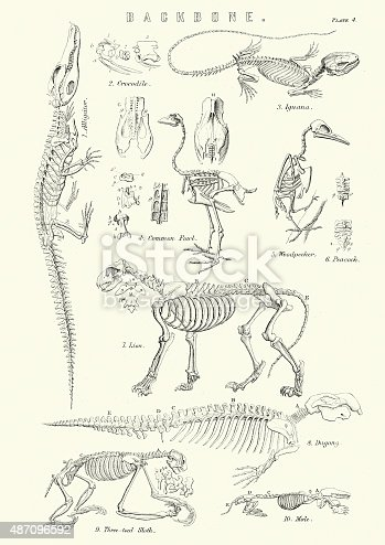 Vintage engraving of the Backbones of a crocodile, common fowl, Iguana, Woodpecker, Lion, Dugong, Three toed sloth and a mole. 19th Century