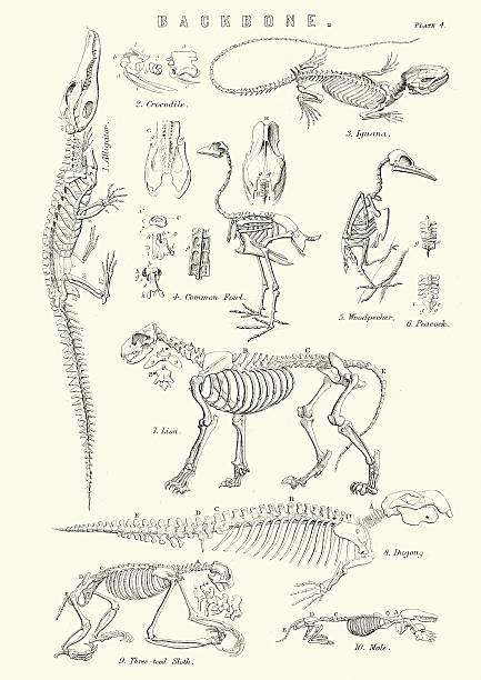 Animal Backbones 19th Century Vintage engraving of the Backbones of a crocodile, common fowl, Iguana, Woodpecker, Lion, Dugong, Three toed sloth and a mole. 19th Century cat skeleton stock illustrations