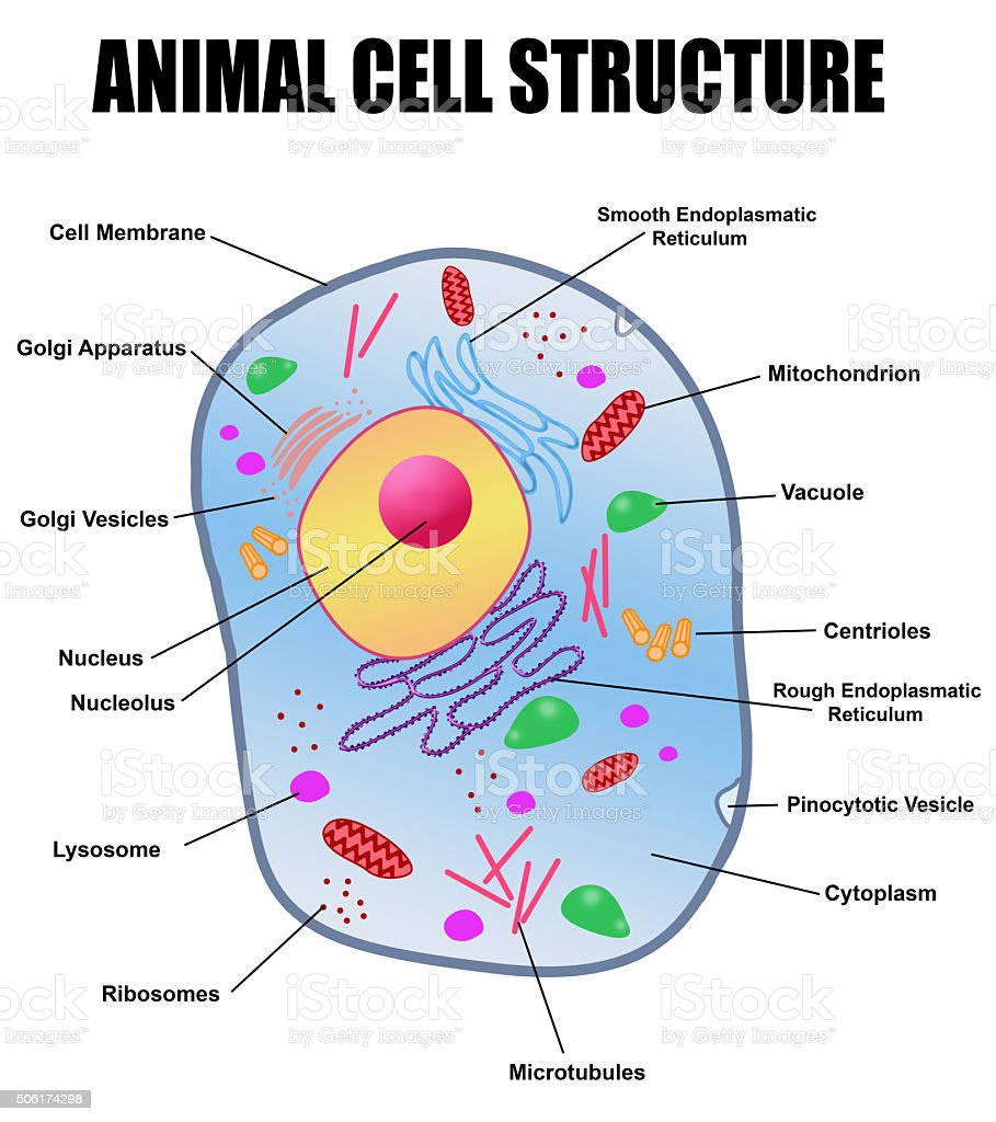 Animal cell structure vector art illustration