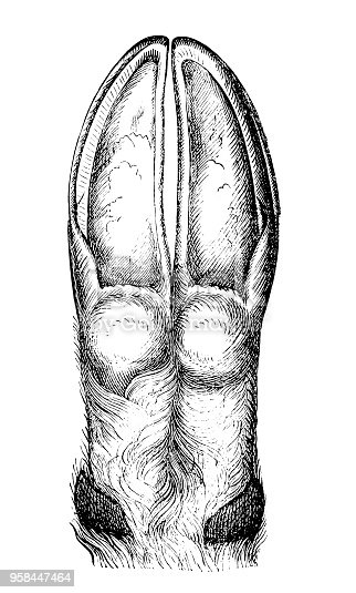 Illustration of a Animal hoof
