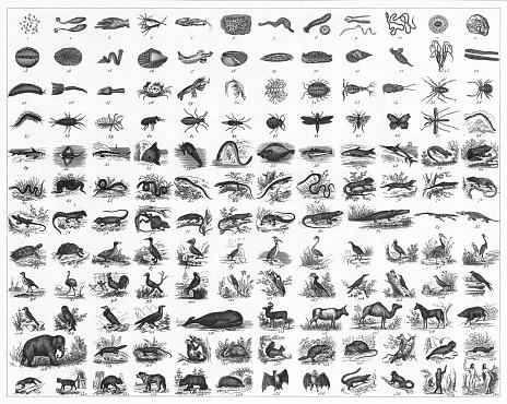 Animal Species Classification Engraving