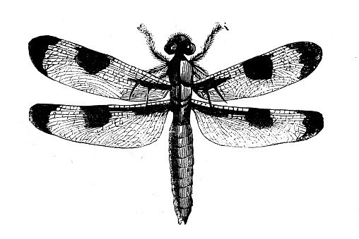 Animals antique engraving illustration: American Dragonfly