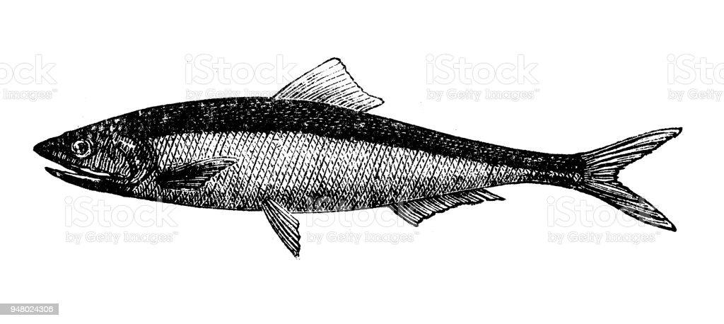Animales antiguos ilustración grabado: anchoa - ilustración de arte vectorial