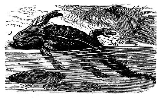 Animals antique engraving illustration: Axolotl