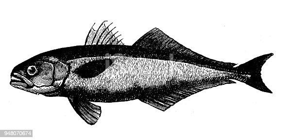 Animals antique engraving illustration: Blue fish