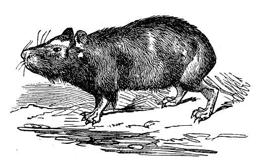 Animals antique engraving illustration: Capybara