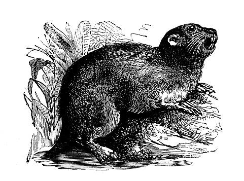 Animals antique engraving illustration: Coypu