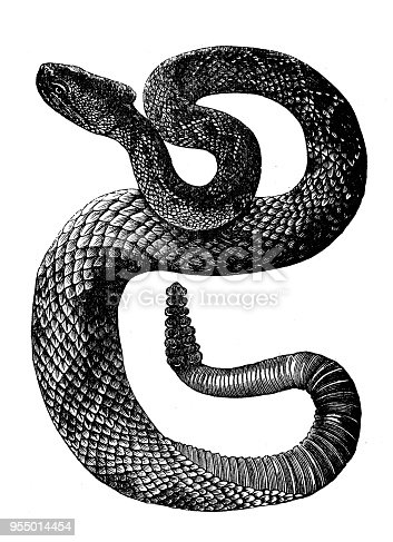 Animals antique engraving illustration: Crotalus or Banded Rattlesnake