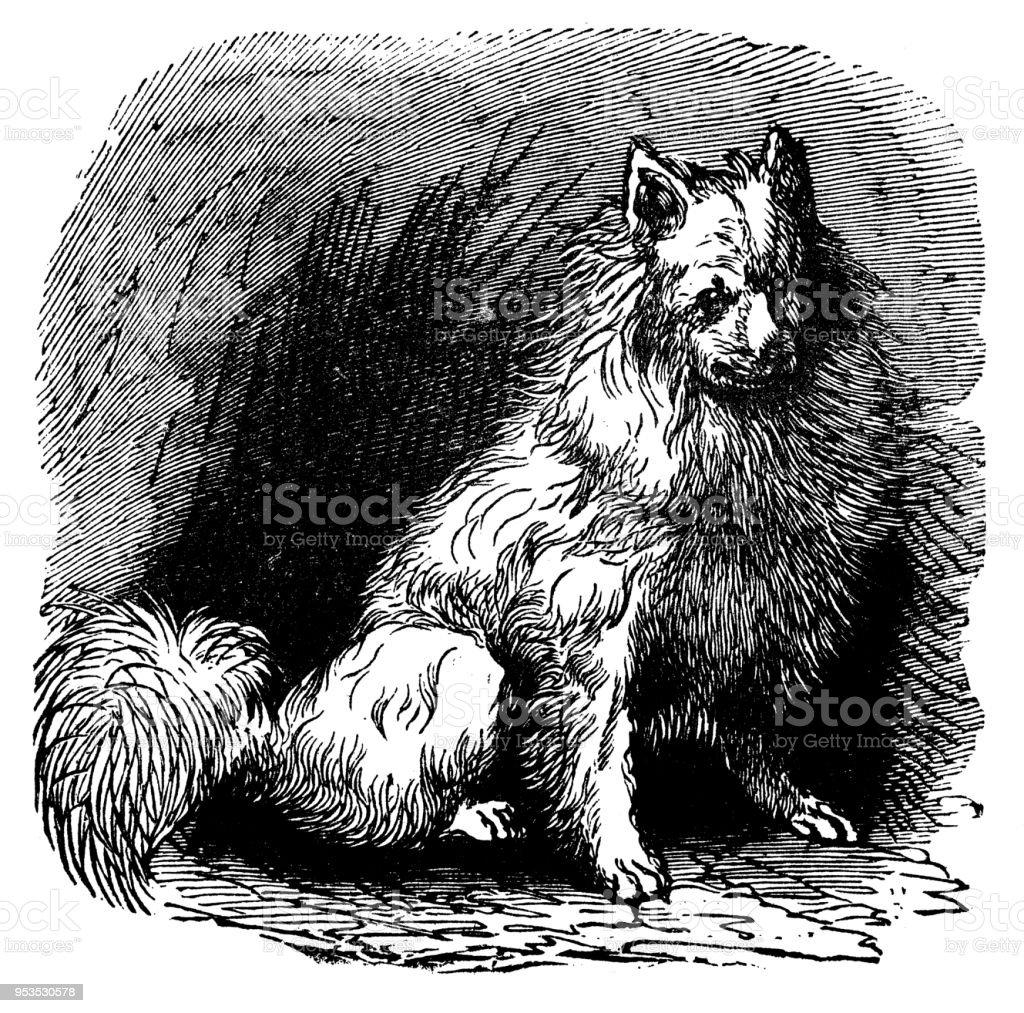 Animaux Antique Illustration De Gravure Chien Esquimau