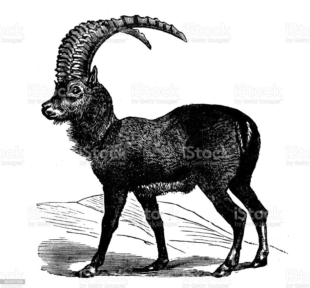 Animaux antique illustration de gravure: bouquetin - Illustration vectorielle