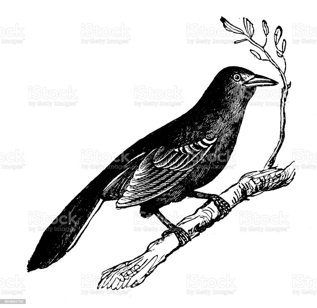 Animals Antique Engraving Illustration Mockingbird Royalty Free Stock Vector