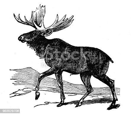 Animals antique engraving illustration: Moose