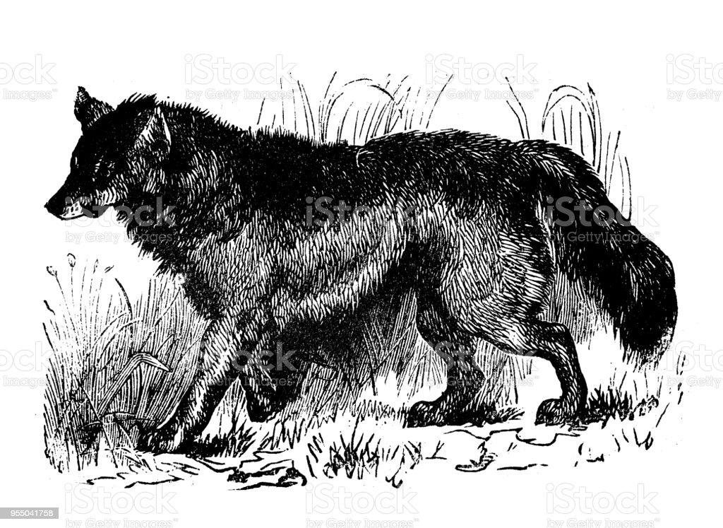 動物アンティーク彫刻イラスト プレーリーの狼 19世紀のベクターアート