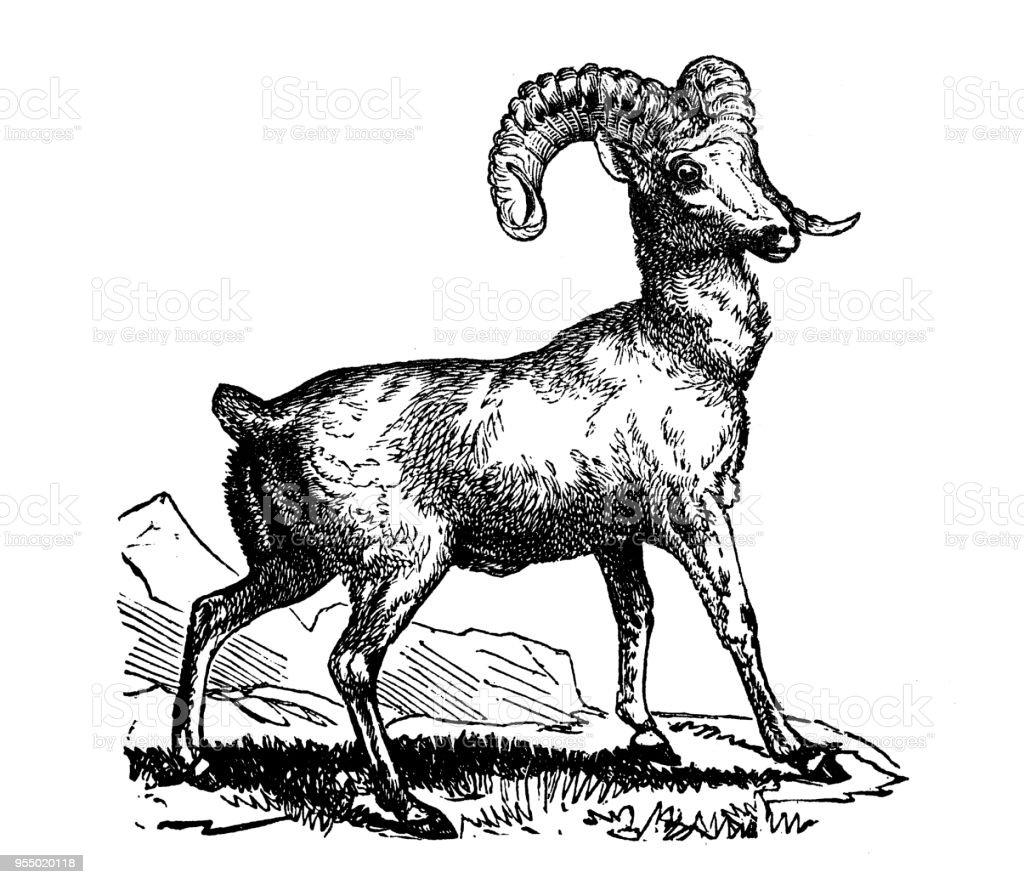 動物アンティーク彫刻イラスト ロッキー山羊 19世紀のベクターアート