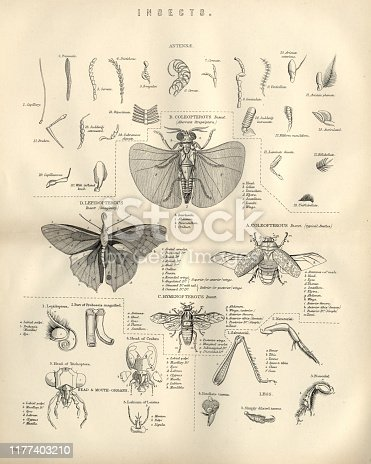 Vintage engraving of Animals, Insects, Flies, 19th Century