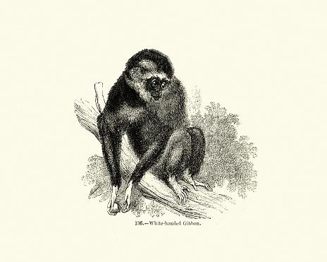 Animals, Primates, lar gibbon (Hylobates lar), white-handed gibbon