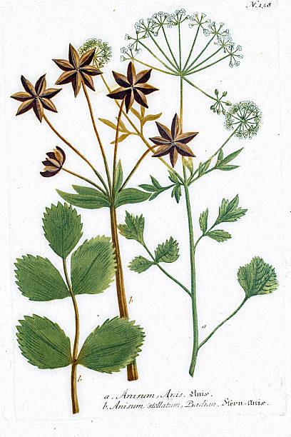 Anise plant used as spice, liquor, herbal medicine vector art illustration