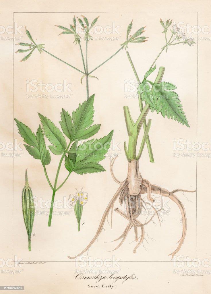 Aniseroot botanical engraving 1843 vector art illustration
