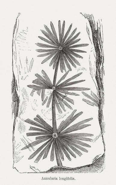 annularia stellata (or annularia longifolia), wood engraving, published in 1893 - fossilized leaves stock illustrations