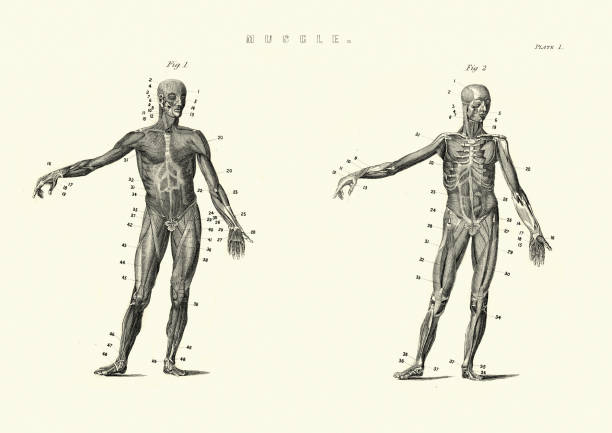 Antique anatomical diagram, Muscles of the human body, 19th Century Vintage engraving of Antique anatomical diagram, Muscles of the human body, 19th Century medical diagrams stock illustrations