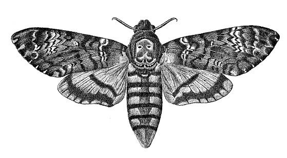 Antique animal illustration: Acherontia atropos, death's-head hawkmoth