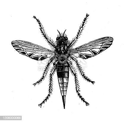 Antique animal illustration: Asilus