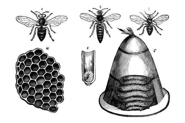 Antique animal illustration: Bees vector art illustration