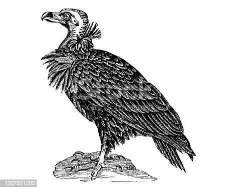 Antique animal illustration: black vulture (Coragyps atratus)