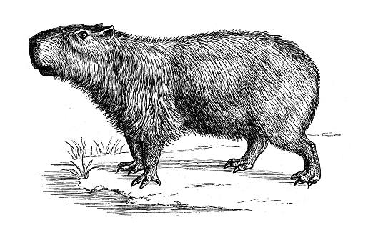 Antique animal illustration: capybara (Hydrochoerus hydrochaeris)