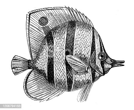 Antique animal illustration: Chaetodon